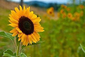 Yellow Sunflower Field – Emerald Studio Photography