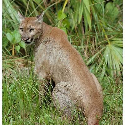 File:Puma concolor coryi cropped.jpg - Wikipedia