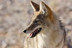 Through Golden Eyes: Coyotes Don't Get High—But These ...  Animal