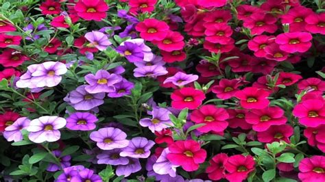 how to grow flowers easy to grow annuals with low