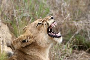 Angry Lioness | Lioness Baring her teeth | Colm Costelloe ...