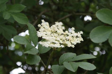 vlierbes in tuin vlierbloesem herkennen en gebruiken uit de natuur of je