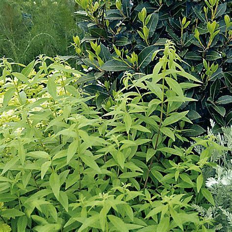 Verveine Citronnelle (lippia Citriodora)