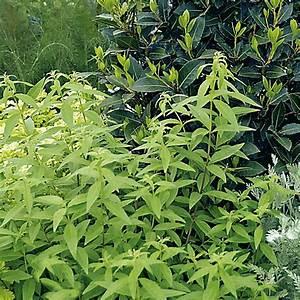 Verveine Plante Tisane : verveine citronnelle plantes et jardins ~ Mglfilm.com Idées de Décoration