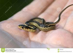 Baby Garter Snake in Hand stock photo. Image of striped ...