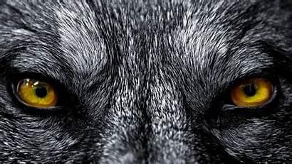 Wolf Wolves Backgrounds Wallpapers Pixelstalk