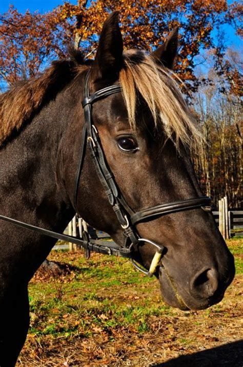 silver horse dapple quarter warmblood swedish percheron gelding gemerkt