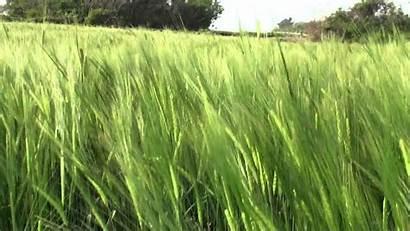 Barley Wheat Field