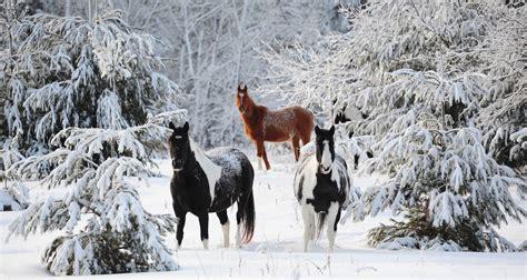 horses horse snow coffee break lake songs through covered trees
