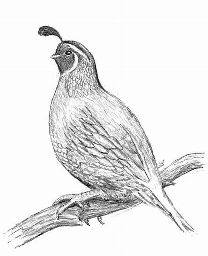 Quail Drawing Coloring Awesome California Pencil Duck