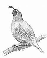 Quail Drawing Coloring Awesome Pencil California Duck Mallard Getdrawings Luna sketch template