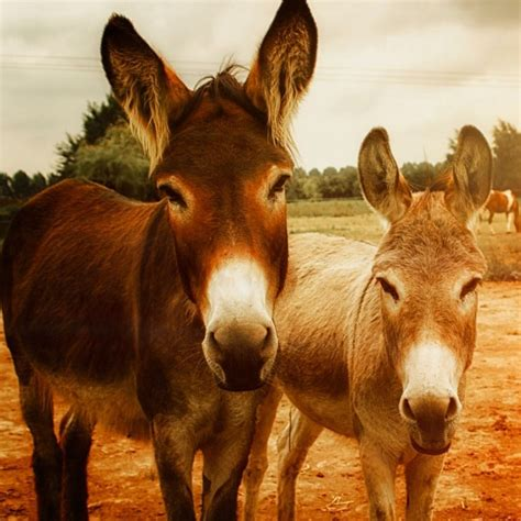 donkey breeds donkeys american horse north different imported