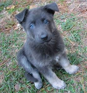 Blue German Shepherd (they have no black fur). | All the ...