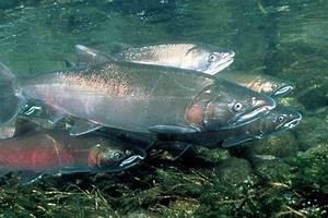 Klamath Basin Chinook and Coho Salmon - Water Education ...
