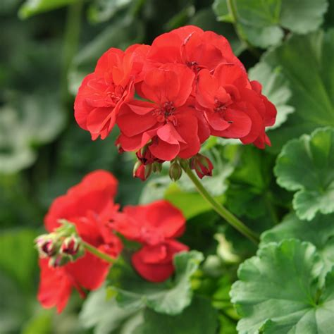 picture of geranium flower geranium flower essence stillpoint aromatics