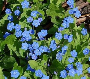 Bodendecker Blaue Blüten : die blaue blume zauberstaude ~ Frokenaadalensverden.com Haus und Dekorationen