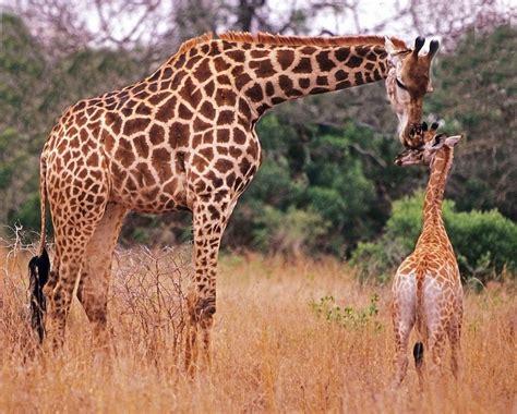 jeux de fille en ligne gratuit de cuisine girafon et girafe