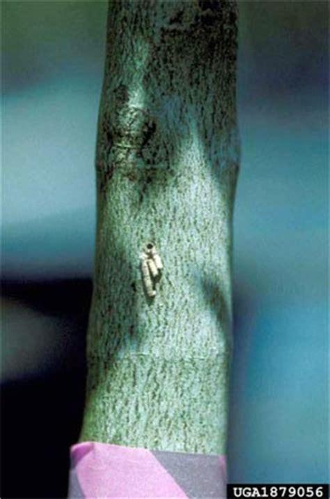 bark beetle pests  michigan msu extension