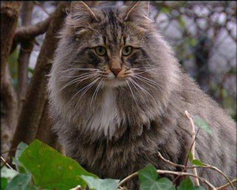 die zehn beliebtesten katzenrassen