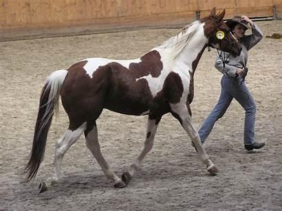 Paint American Horse Wikipedia Horses Tobiano Skewbald