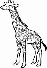 Giraffe Outline Clipart Coloring Pages Mommy Printable Clipground sketch template