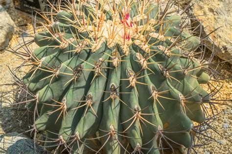 Emory's Barrel Cactus Info: Tips On Caring For Emory's ...