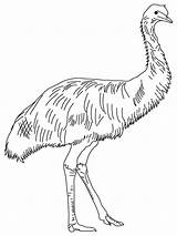 Emu Coloring Australian Animals Outback Australia Birds Feathered Soft Printable Template Line Sunday Colouring Outline Templates Sketch Bestcoloringpages Kangaroo Printables sketch template