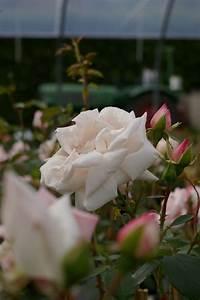 Kletterrose New Dawn : kletterrose new dawn wei liches rosa duft 50cm diese ~ Michelbontemps.com Haus und Dekorationen