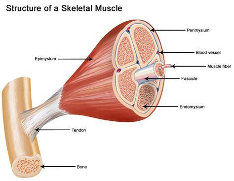 structure of skeletal seer training