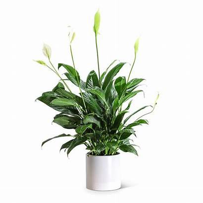 Peace Lily Plant Flower Flowers Pa Canonsburg