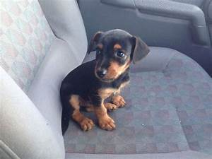 Jack Russell Black and Tan. It looks like a baby version ...