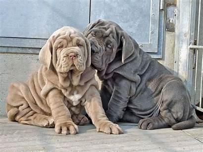 Mastiff Neapolitan Puppies Breed Health