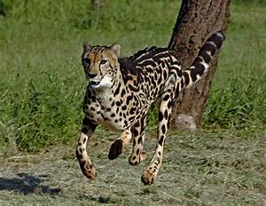 The King Cheetah Amazing Facts & Pictures | The Wildlife