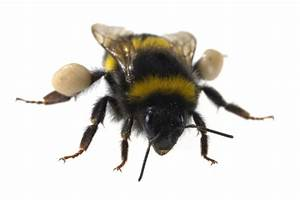 Bee Pollen Nutrition  Health Benefits  And How To Use