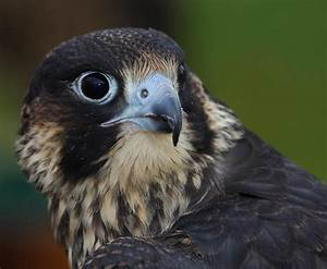 Peregrine Falcon Wallpapers | Full HD Pictures