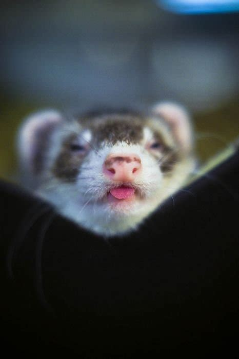 cool animals pictures funny ferrets pictures beautiful