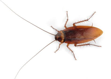Why Cockroaches Love Kitchens ? Pest Control Toronto