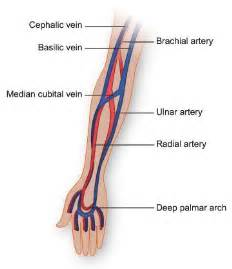 similiar median cubital vein venipuncture keywords, Cephalic Vein