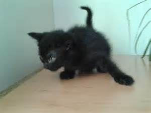 cheapest cat breeds 4 cheap beautiful kittens for corby