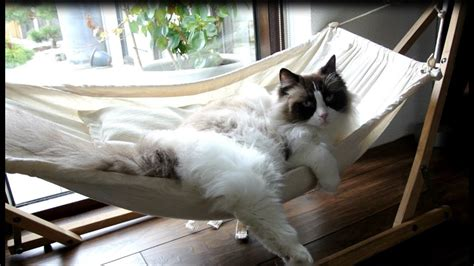 Cat In Hammock by Timo The Cat And His Hammock Experiences Compilation