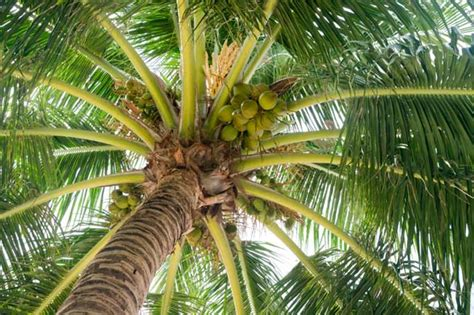 de cuisine qui fait tout le cocotier et fruit le coco