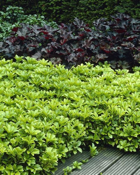 euphorbia ground cover pachysandra terminalis japanese spurge perfect for ground cover pack of ten plants