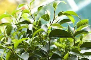 Ficus Benjamini Gelbe Blätter : birkenfeige ficus benjamini pflege tipps bei blattverlust ~ Watch28wear.com Haus und Dekorationen