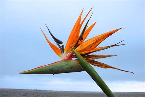 Birds Of Paradise Plant Pictures Nice Pics Gallery