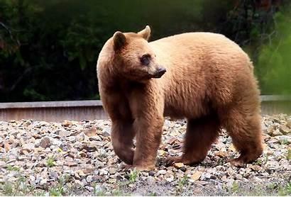 Bear Bears Canada Cinnamon Coloured North
