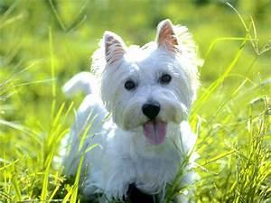 West Highland White Terrier desktop wallpaper