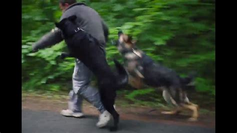 personal protection dogs working   german shepherds