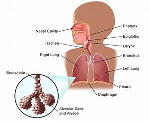 The Respiratory System In Babies