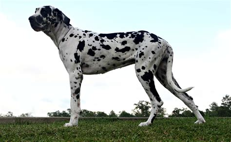 Great Dane Wallpapers Hd