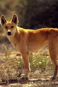 Fox Coyote Wolf Dingo Dog